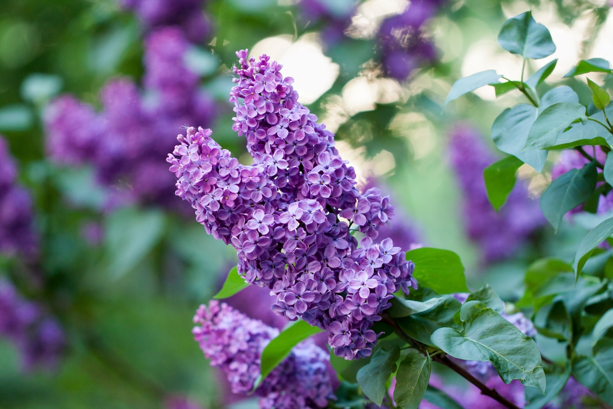Spring lilac, violet flowers, close up branch