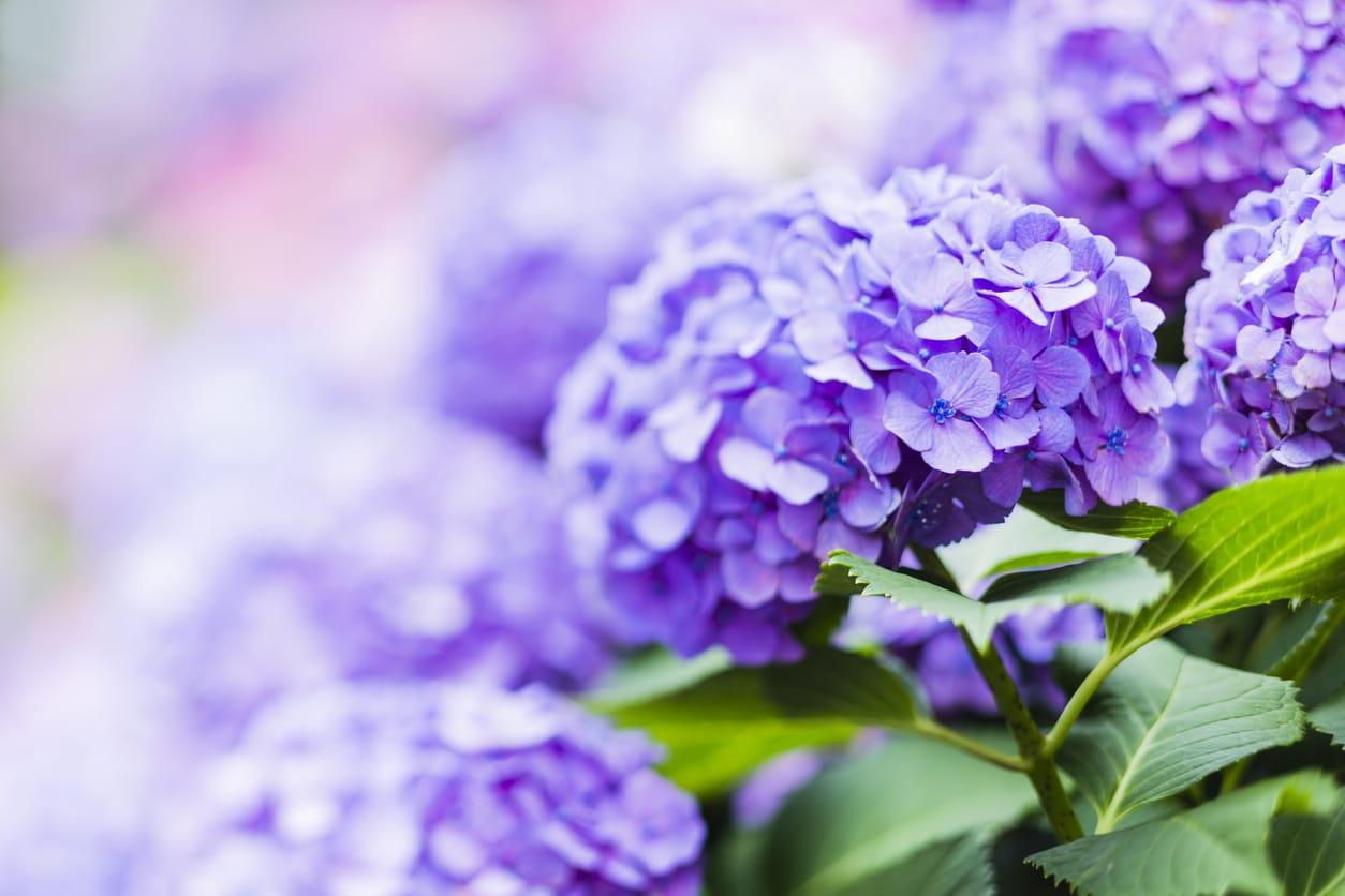 Tilt-Shift Image of Purple Hydrangea Flower in Early Summer