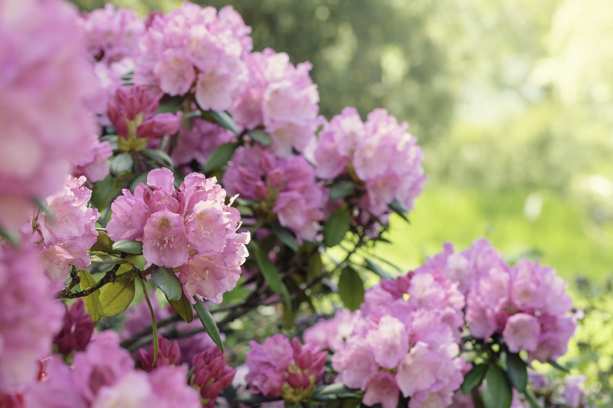 Pink rhododendron bushes in bloom on a sunny spring day.